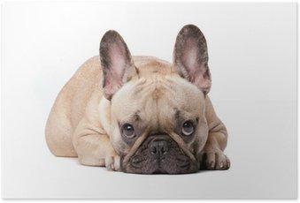 Poster Französische bulldogge