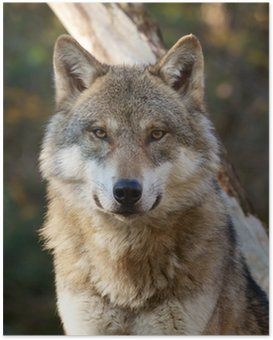 Poster Grauer Wolf, Canis lupus