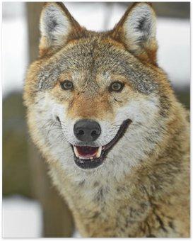 Poster Grauwolf