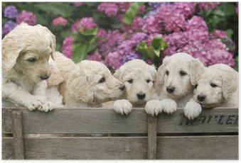 Poster Labradoodle Pupies