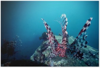 Poster Lion fish