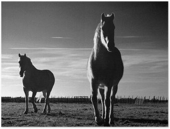 Poster Pferde camargais