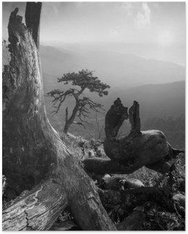 Poster Pinetree auf einem monuntain Hügel. Schwarz und weiß