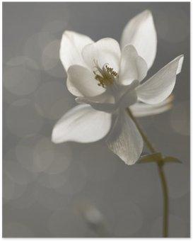 Poster Weiße Akelei (Aquilegia) - Trauer
