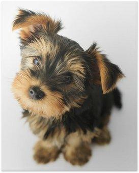Poster Yorkshire-Terrier - Porträt einer niedlichen Welpen