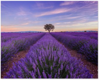 Póster Árvore no campo da alfazema no nascer do sol, em Provence, França