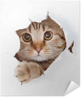 Póster Autoadesivo cat looking up in paper side torn hole isolated