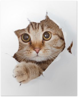 Póster cat looking up in paper side torn hole isolated