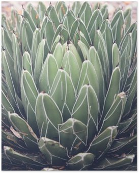 Póster Close up de agave plantas suculentas, foco seletivo, tonificação