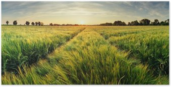 Póster Paisagem rural com campo de trigo no por do sol