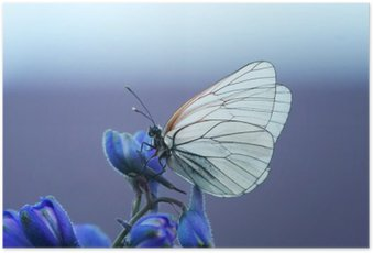 Poster Белая бабочка на синем цветке