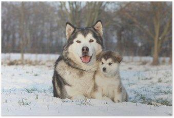 Poster Alaskan malamute ET SON DANS LA NEIGE bébé