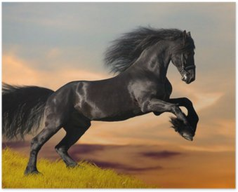 Black Friesian horse gallops in sunset Poster