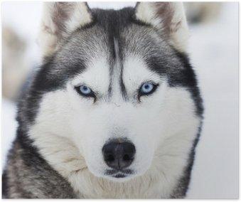 Poster Close-up op de blauwe ogen van husky