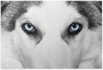 Poster Close-up shot van husky hond