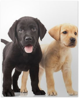Poster Deux adorables chiots labrador