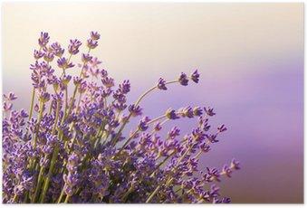 Poster Fleurs de lavande fleurissent l'heure d'été