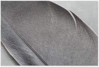 Poster Gros plan d'une plume