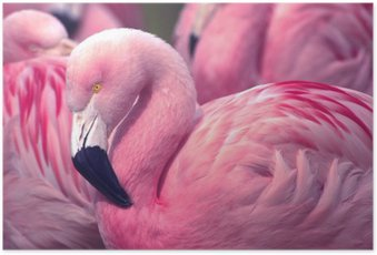 Poster HD Chilienne Pink Flamingo