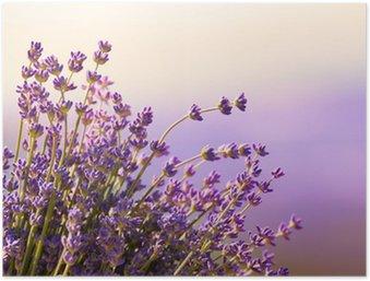 Póster HD Flores de lavanda florecen el horario de verano
