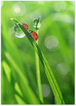 fresh morning dew and ladybirds Poster HD
