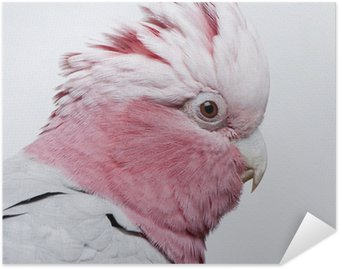 Galah bird - Eolophus roseicapilla (19 months) Poster HD