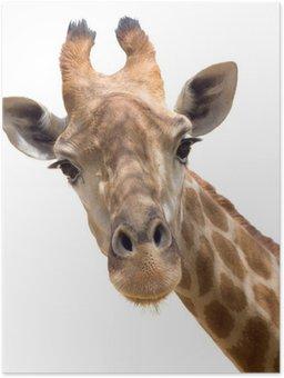 Giraffe closeup Poster HD
