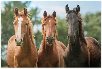 Poster HD Groupe de trois jeunes chevaux sur le pâturage