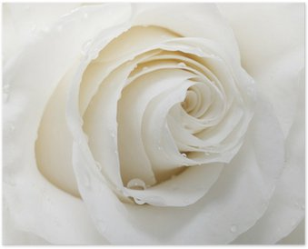 Poster HD Rose white