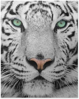 white tiger Poster HD