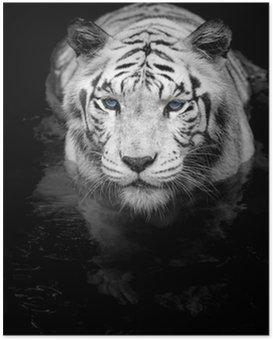 Poster HD White tiger