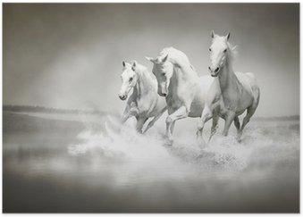 Herd of white horses running through water Poster