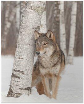 Poster Loup gris (Canis lupus) est à côté de Bouleau