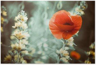 Poster Rouge fleur de pavot au jardin sunset