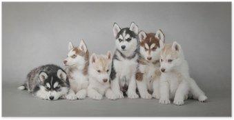 Poster Siberische Husky hond puppy