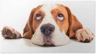 Poster Tête beagle isolé sur blanc