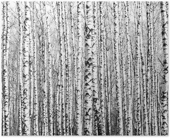 Poster Troncs de printemps de bouleaux noir et blanc