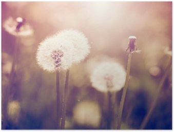 Vintage dandelions on meadow Poster