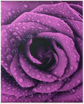 Poster Violet foncé fond rose
