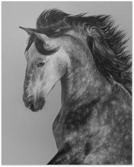 Poster Vlek-grijze Andalusische hengst - portret in beweging