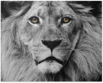Poster Yeux Lion