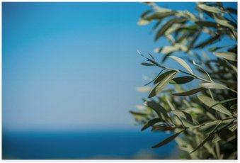 Young green olives hang on branches Poster