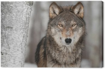 Quadro em Tela Grey Wolf (Canis lupus) Next to Birch Tree
