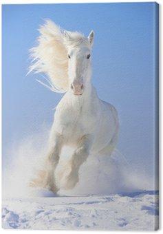 Quadro em Tela White horse stallion runs gallop in front focus