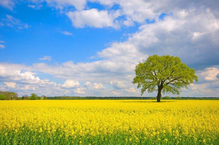 Obraz na Płótnie Rapsfeld - Wiosna