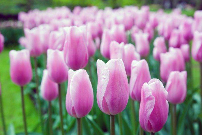 Fototapeta Vinylowa Romantyczne różowe kwiaty na wiosnę - Pory roku