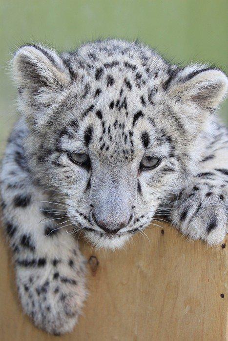 Snow leopard baby, Irbis