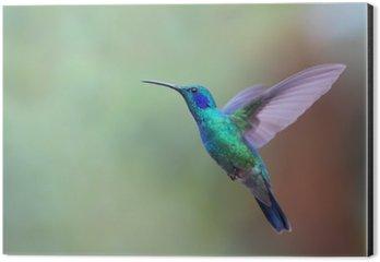 Stampa su Alluminio (Dibond) Verde Violetear Colibrì durante il volo in Costa Rica
