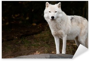Pixerstick for All Surfaces Arctic Wolf Looking at the Camera