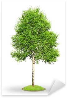 Birch tree isolated on white Sticker - Pixerstick
